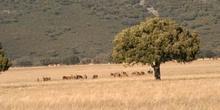 Ciervo común (Cervus elaphus)