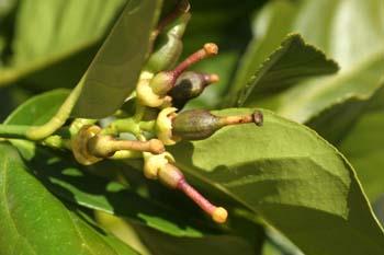 Limonero - Fruto jóven (Citrus limon)
