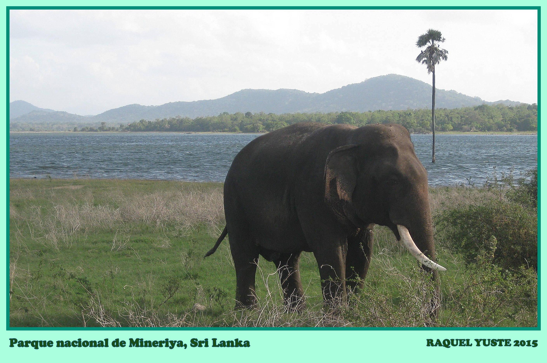 Elefante en Mineriya