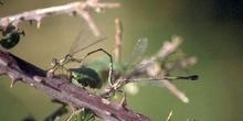 Caballito del diablo (Lestes sponsa)