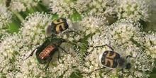 Cetónido avispa (Trichus fasciatus)