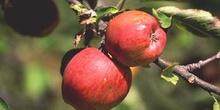 Manzano rojo (Malus x purpurea)