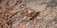 Saltamontes de tierra (Oedipoda germanica)