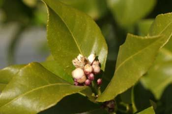 Limonero - Flor (Citrus limon)
