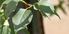 Lilo - Hoja (Syringa vulgaris)