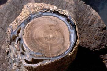 Xilópalo-Madera Fósil (Angiosperma) Cretácico