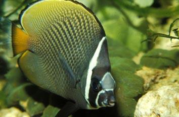 Pez mariposa (Chaetodon collare)