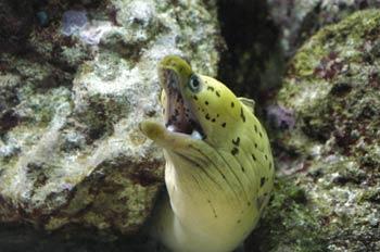 Morena (Muraena sp)