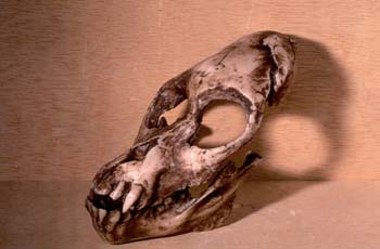 Proconsul africanus (Mamífero-Homínido) Mioceno