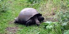 Tortuga Gigante, Geochelone elephantopus, Ecuador