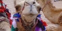 Camellos en el desierto Wadi Rum, Jordania