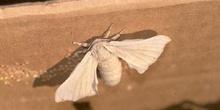 Mariposa de la seda - Imago (Bombyx mori)