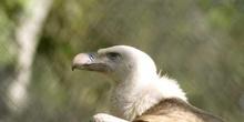 Buitre leonado (Gyps fulvus)