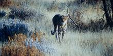 Guepardo aproximándose, Namibia