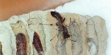 Avispa alfarera cazadora de arañas (Sceliphron destillatorium)