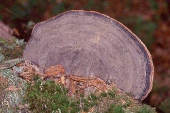 Yesquero aplanado (Ganoderma applanatum)