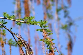 Ahuehuete o Ciprés Calvo - Hojas y conos masc viejos (Taxodium m
