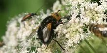 Mosca parásita (Tachina grossa)