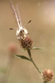 Pavón diurno - Apolo (Parnassius apollo)
