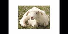 INFANTIL - 3 AÑOS - FARM ANIMALS - INGLÉS - FORMACIÓN