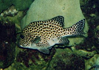 Besucon marino (Plectorhinchus chaetodonoides)