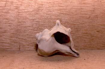 Murex (Molusco-Gasterópodo) Holoceno