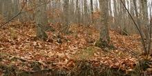 Castaño - Bosque (Castanea sativa)
