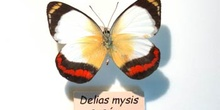 """Mariposa """"Delias mysis"""""""