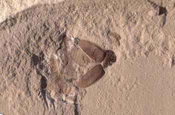Coleóptero (Insecto) Eoceno