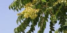 árbol del cielo - Frutos (Ailanthus altissima)