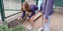 2019_06_07_Los alumnos de Quinto observan los insectos del huerto_CEIP FDLR_Las Rozas 19