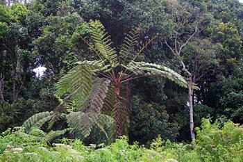 Helecho gigante, Lago Toba, Sumatra, Indonesia