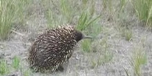 Equidna común, Tachyglossus aculeatus (Shaw, 1792)