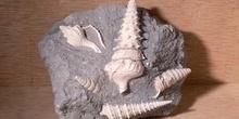 Turritella sp. (Molusco-Gasterópodo) Eoceno