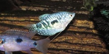 Gurami cosbi (Trichogaster cosbi)