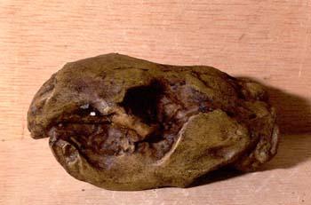 Paleocastor sp. (Mamífero) Mioceno