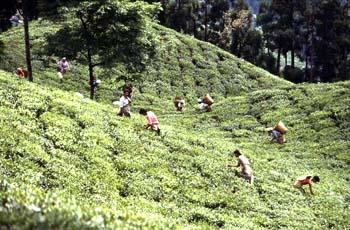 Recogida de la hoja en una plantación de té, Darjeeling, India