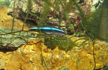 Gobio neon (Gobiosoma oceanops)