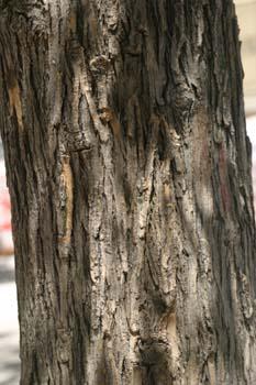 Falsa acacia de Japón - Tronco (Sophora japonica)