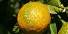 Naranjo amargo - Fruto (Citrus aurantium)