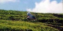 Gaviota protegiendo zona de nidos en el  Cabo de Reinga, Nueva Z