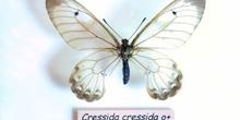 Cessida cressida (Isla Moa)
