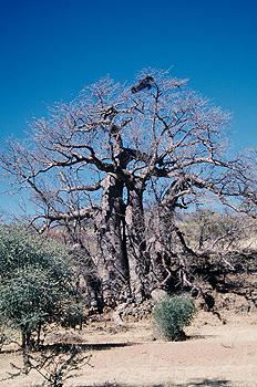 Baobab gigante, Namibia