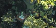 Corales (Alcionario)