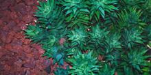 Aloe squarrosa
