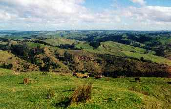 Vacas pastando en colinas cercanas a Wellington, Nueva Zelanda