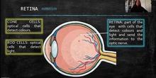 INTERNAL PARTS-RETINA AND OPTIC NERVE