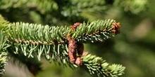Falso abeto rojo - Conos Masc. (Picea abies)