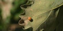 Agalla cereza del roble (Cynips divisa)