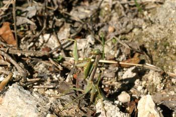 Mantis (Iris oratoria)
